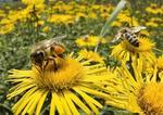 Milczenie pszczół
